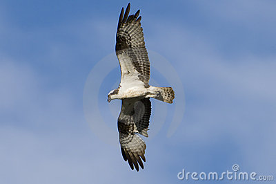Osprey bird in flight