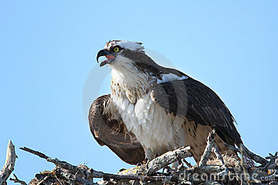 Osprey Calling From Nest