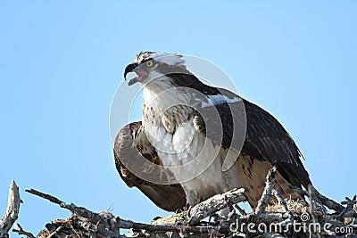 Osprey Calling From Nest
