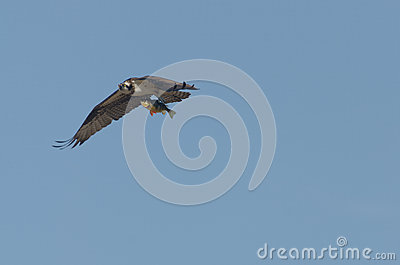 Osprey Carrying Large fish (Perch)
