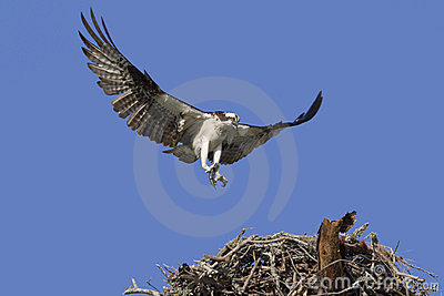 Osprey with the caught.
