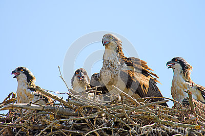 Osprey And Chicks