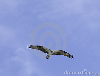 Osprey Circling Overhead Royalty Free Stock Photos - Image: 10407828