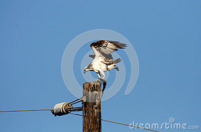 Osprey with fish on a post