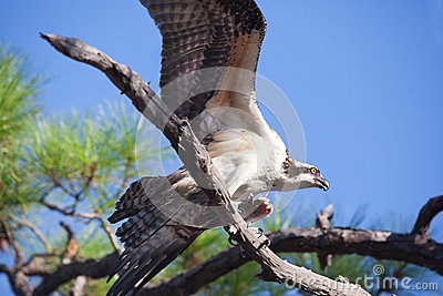 Osprey Flapping Wings Holding Fish