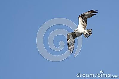 Osprey in Flight in a Blue Sky