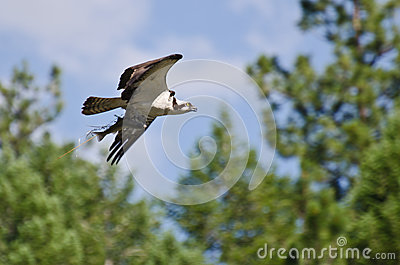 Osprey In Flight Carrying a Fish