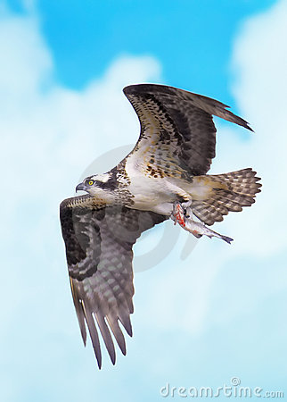 Osprey flight  with fish