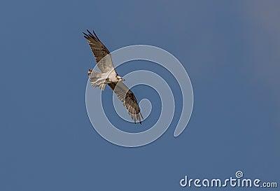 Osprey in flight over the sky of Cuba
