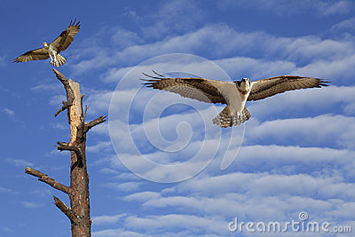 Osprey Flying in a Beautiful Cloudy Sky