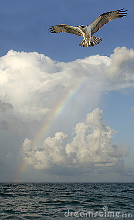 Osprey Flying with Ocean, Rainbow and Clouds