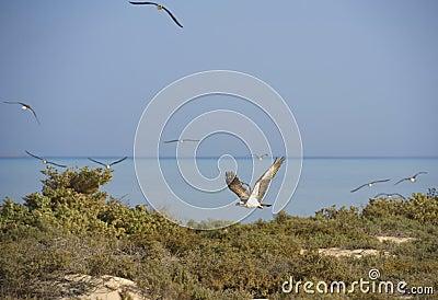Osprey flying over bushes