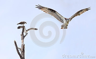 Osprey Flying Toward You While Another Pair Settle on a Dead Tre