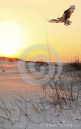 Free Osprey Flys Over White Sand Beach At Sunrise Stock Photo - 38614280