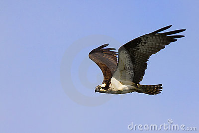 Osprey Gliding