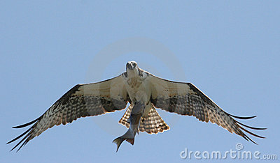 Osprey Hawk With Fish
