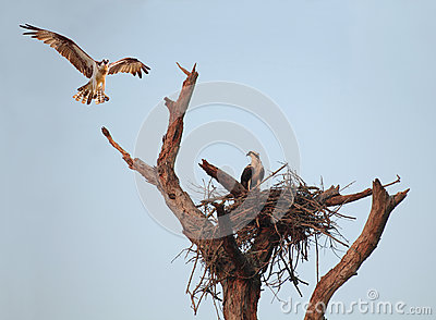 An Osprey Hovers Over It s Nest With Mate in Early Morning Light