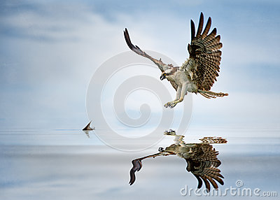 Osprey hunt
