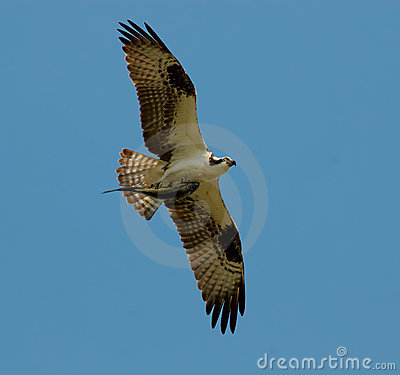 Free Osprey In Flight Holding Fish Stock Photo - 16392140
