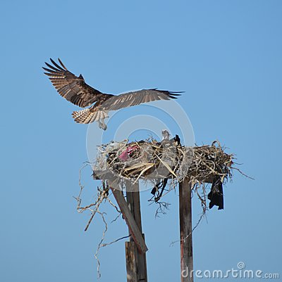 Free Osprey Landing In Nest In Guerro Negro In Baja California Del Sur, Mexico Stock Photo - 53289450