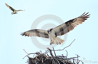 Osprey Landing on it s Nest With Her Mate Flying in with a Fish