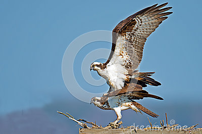 Osprey Mating