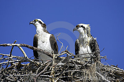 Osprey in nest