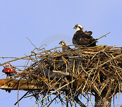 Osprey Pair adult and offspring in Nest