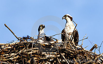 Osprey Pair In Nest