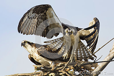 Osprey (Pandion Haliaetus) taking off from its nest
