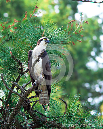 Free Osprey Perched On Tree. Royalty Free Stock Image - 24830906