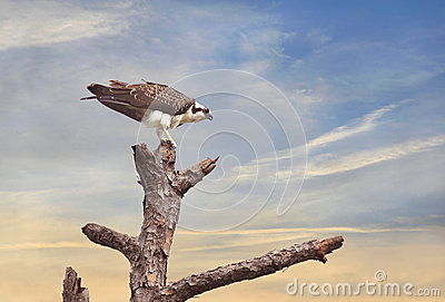 Osprey Perched in a Tree at Sunrise