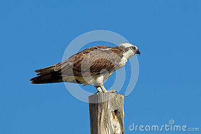Osprey on Pole