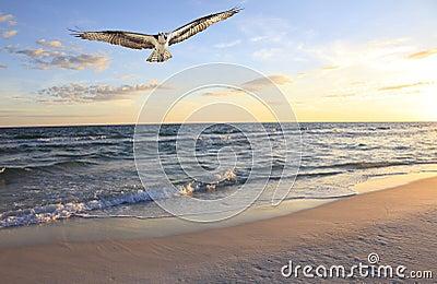 Osprey que vuela adentro del océano en la salida del sol