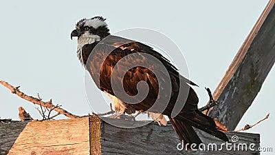 Osprey Sitting on Nest Box lager videofilmer
