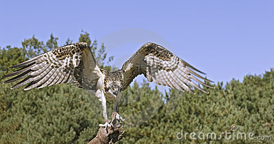 Osprey with wings spread