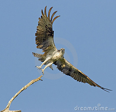 Free Osprey With Wings Spread Stock Photography - 3756052