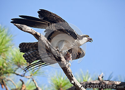 Osprey witih Mackerel on Tree Branch