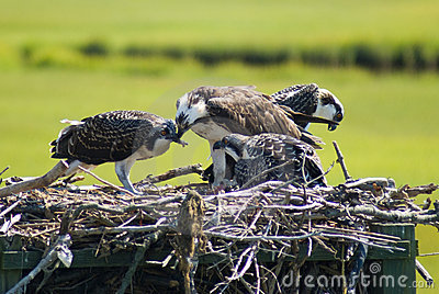 Ospreys (feeding)
