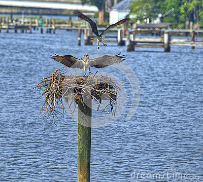 Ospreys on the Miles River, Maryland