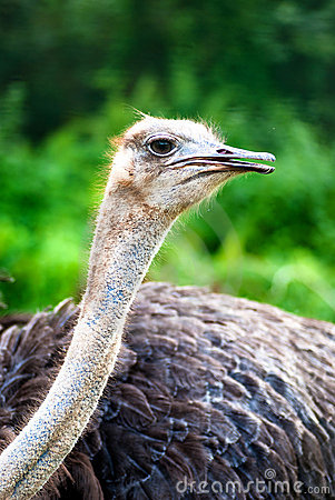 Free Ostrich 03 Royalty Free Stock Photo - 11139085