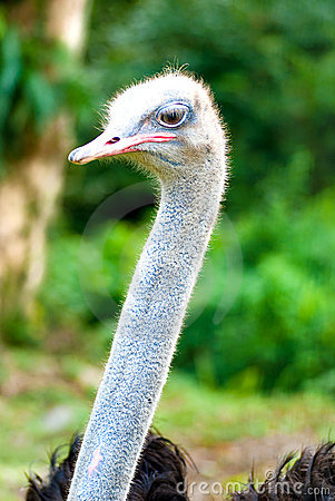 Free Ostrich 03 Royalty Free Stock Images - 11168059