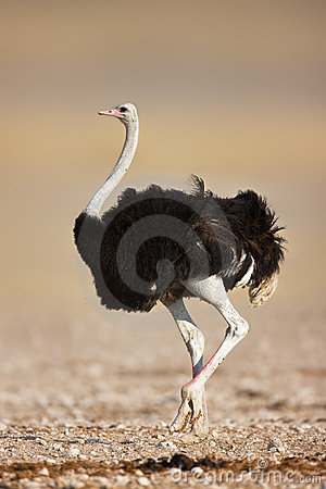 Free Ostrich Royalty Free Stock Photography - 12429267