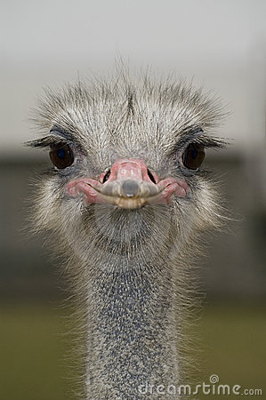Free Ostrich Stock Image - 1597211