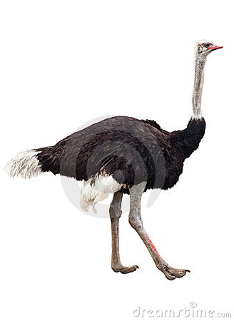 Free Ostrich Stock Photography - 19833792