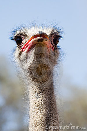 Free Ostrich Stock Photos - 2274683