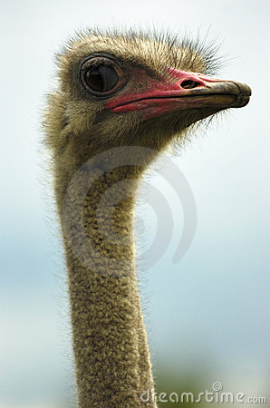 Free Ostrich Stock Photos - 2445463