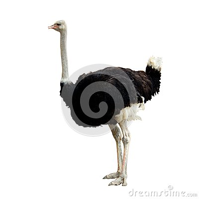 Free Ostrich Royalty Free Stock Images - 38943509