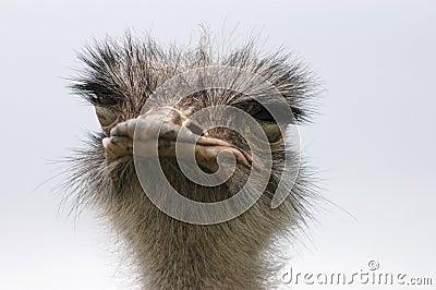 Ostrich 8
