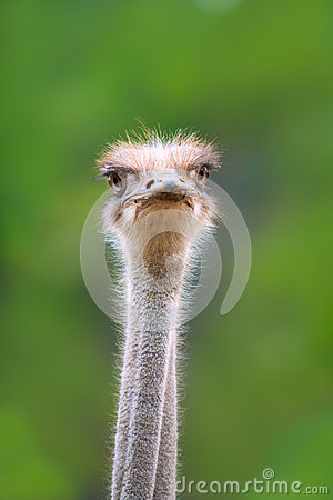 Ostrich bird head and neck front portrait